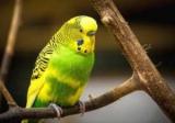 Как ухаживать за волнистым попугаем дома: правила содержания, необходимые условия и рекомендации специалистов